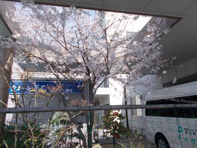 つなしま(桜).jpg